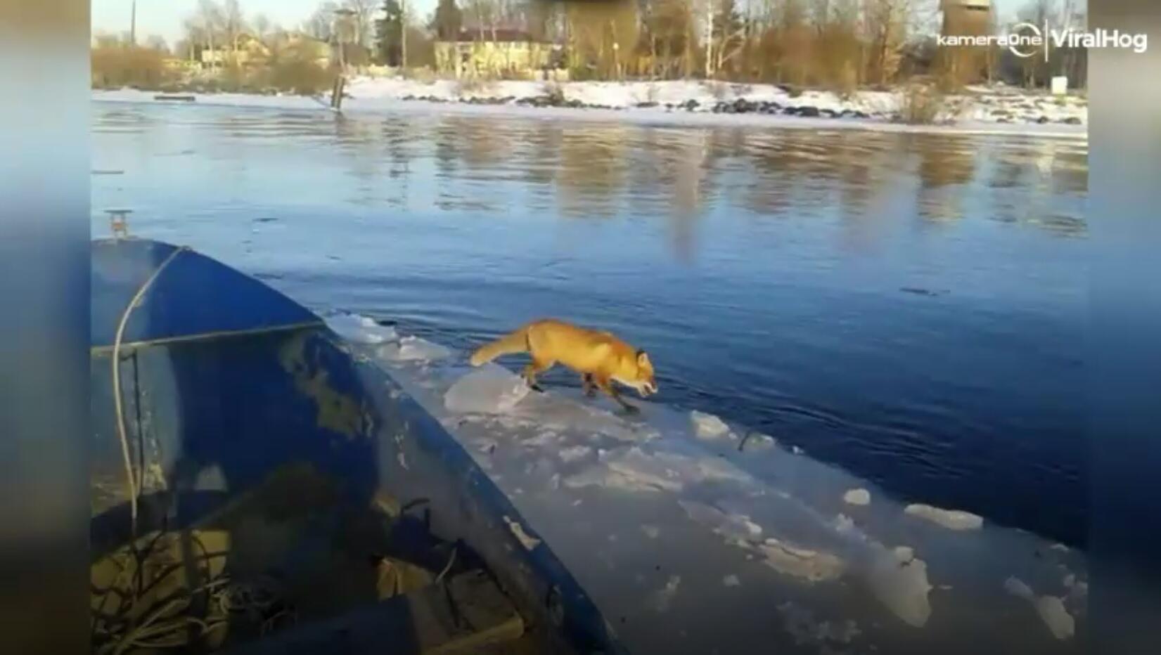 Bild zu Fuchs wird gerettet