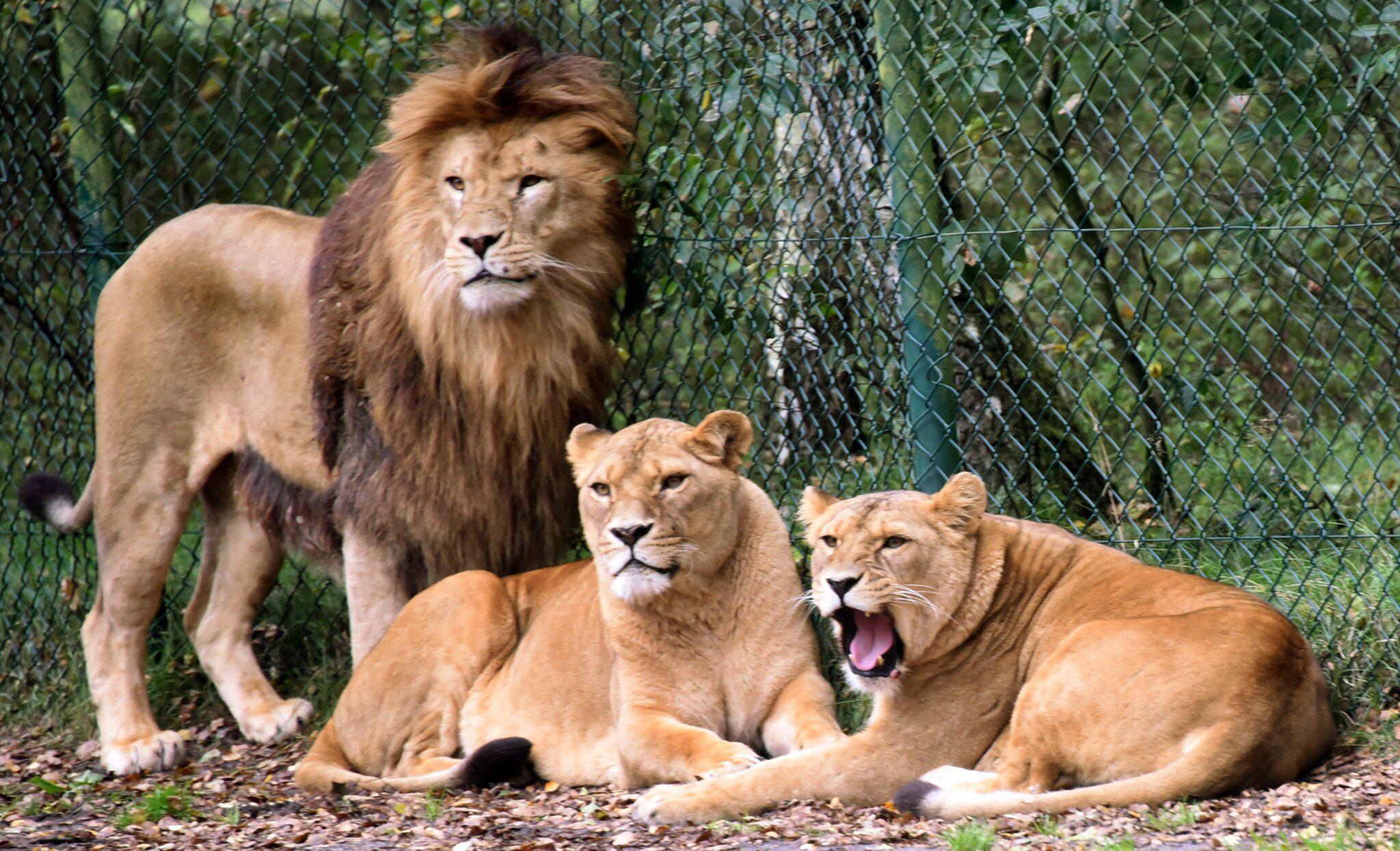 Bild zu Löwengruppe im Serengeti-Park Hodenhagen
