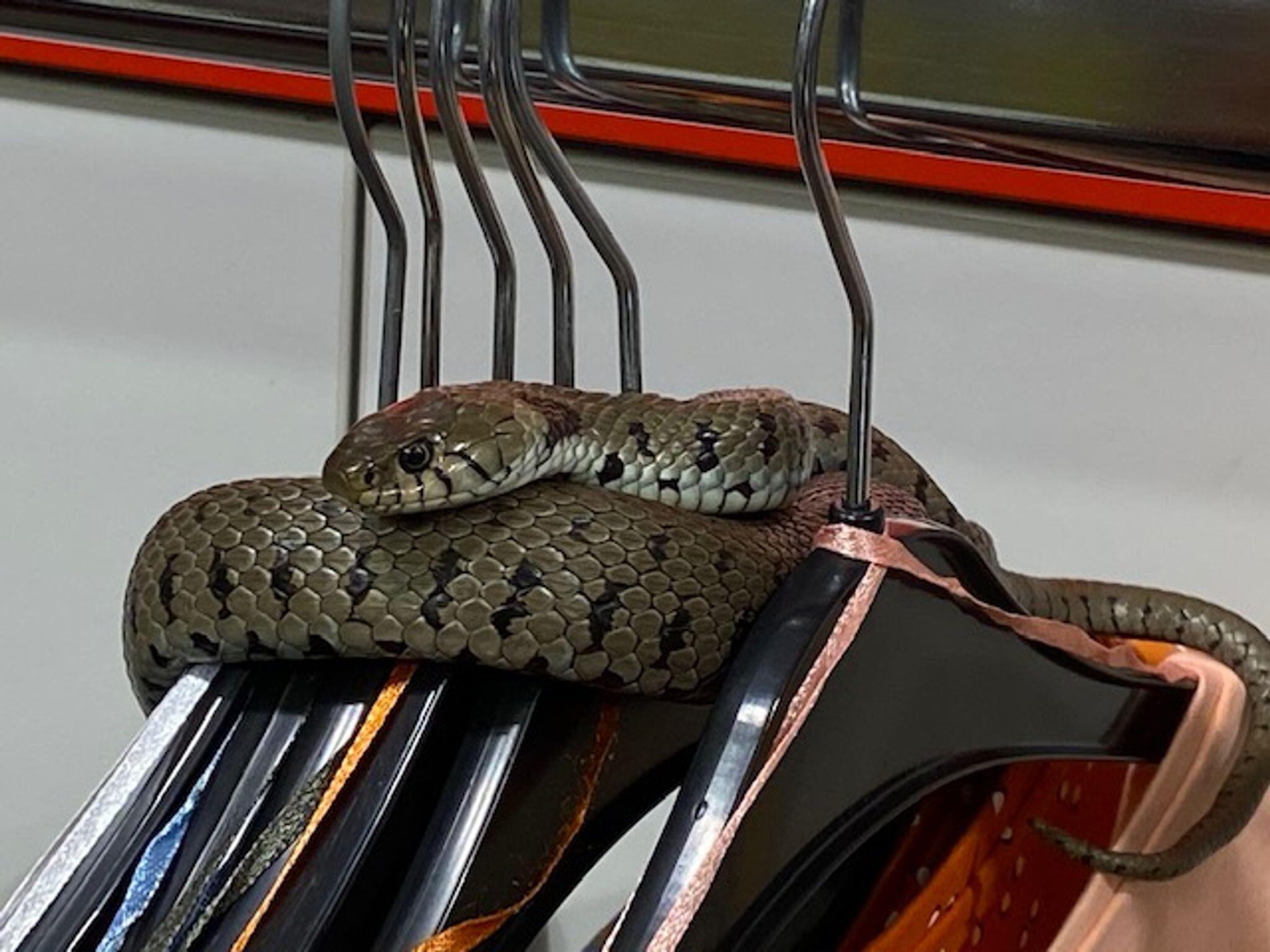 Bild zu Schlange verirrt sich in Klamottengeschäft
