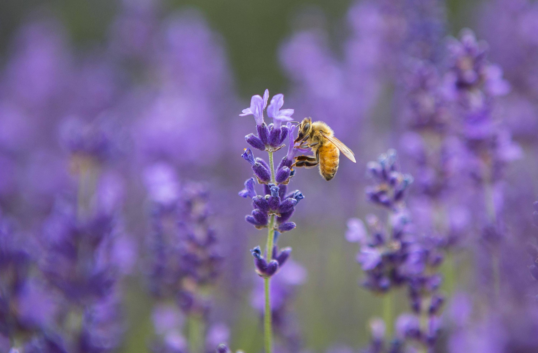 Bild zu Bienen sterben