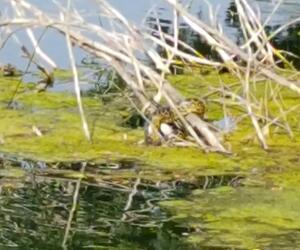 Gelbe Anakonda in Meerbusch
