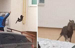 Frau wirft Katze nach Elch