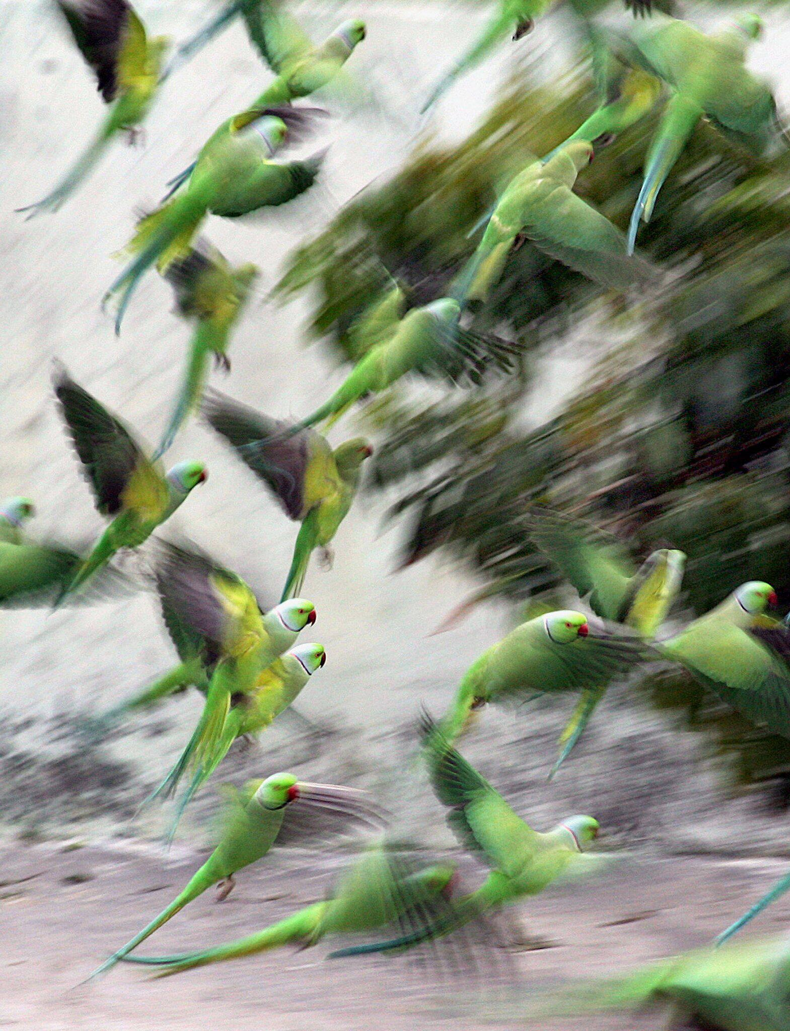 Bild zu Papageien in Indien