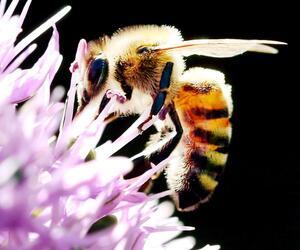 Biene, Blüte, Allium, Zierlauch, Düsseldorf