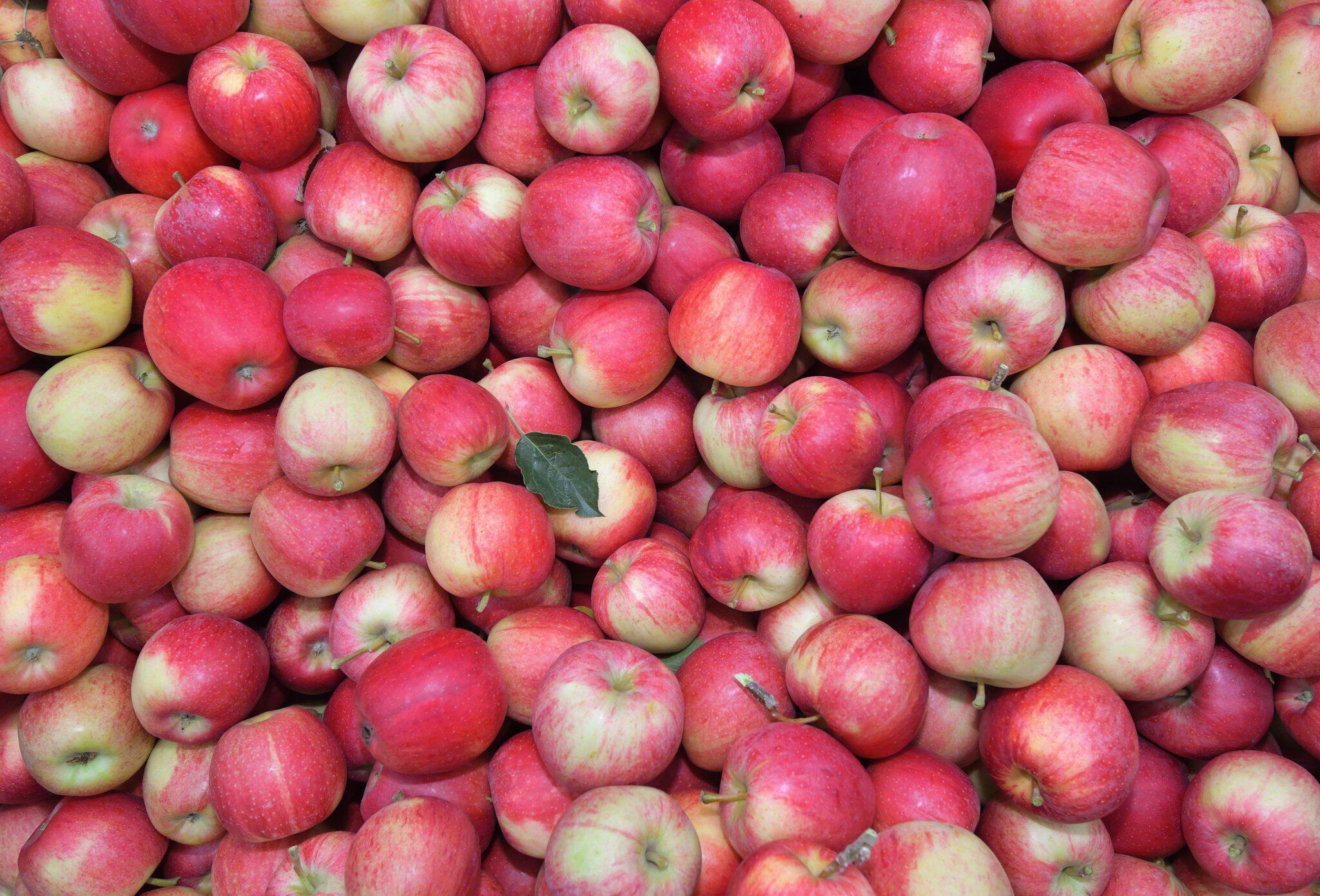 Bild zu Äpfel der Sorte Gala