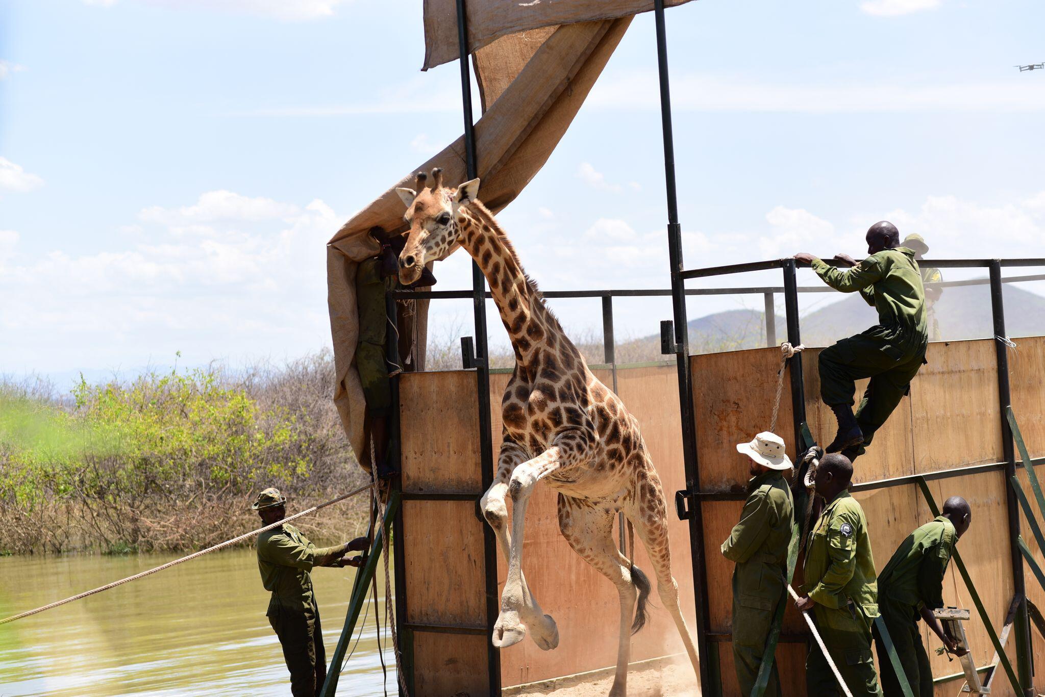 Bild zu Neun Giraffen in Kenia umgesiedelt