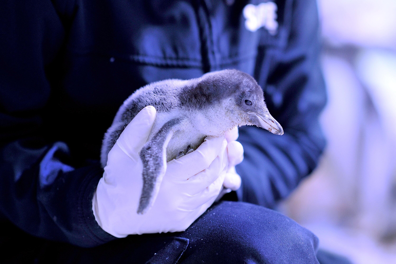 Bild zu Tiere, kitzlig, Pinguin