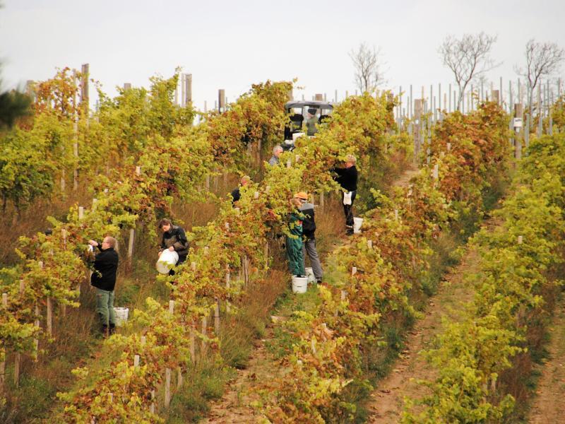Bild zu Weinlese in Dänemark