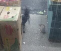 Riesen-Ratte, Katze