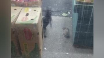 Bild zu Riesen-Ratte, Katze