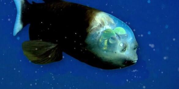 Bild zu Ein Kopf aus Glas - nur ein Mensch hat den seltenen gläserne Fisch bisher lebend gesehen.