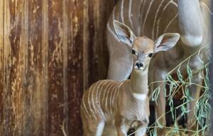 Namib, Conny, Kleiner Kudu, Zoo Basel