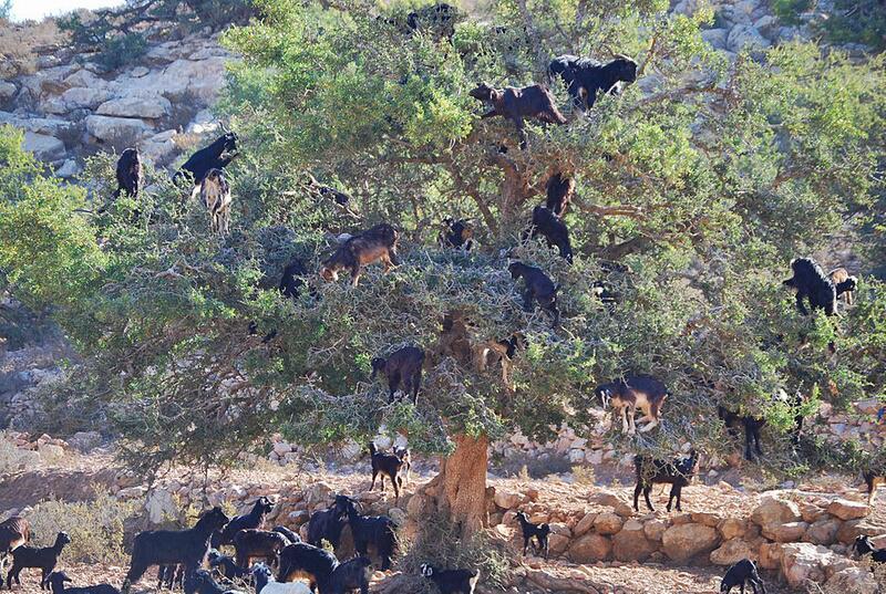 Bild zu Ziege vs. Baum
