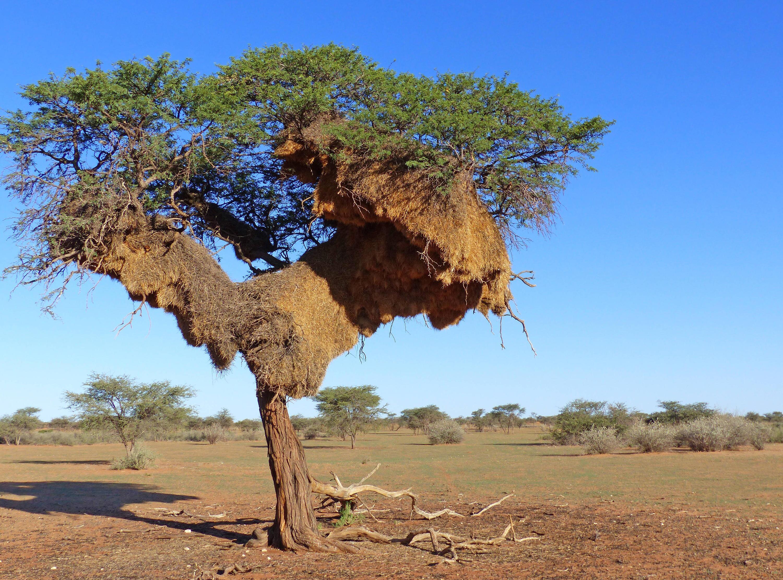 Bild zu Webervögel