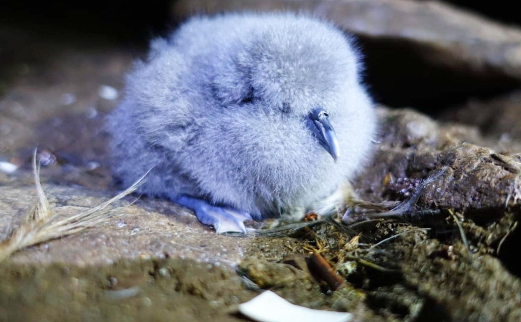 Bild zu Mäuse bedrohen seltene Vogelart auf Atlantikinsel