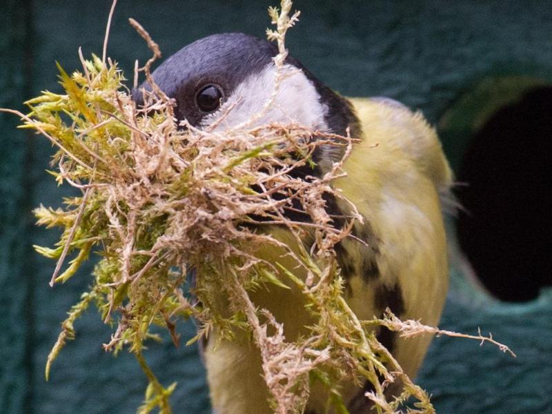 Bild zu Kohlmeise beim Nestbau