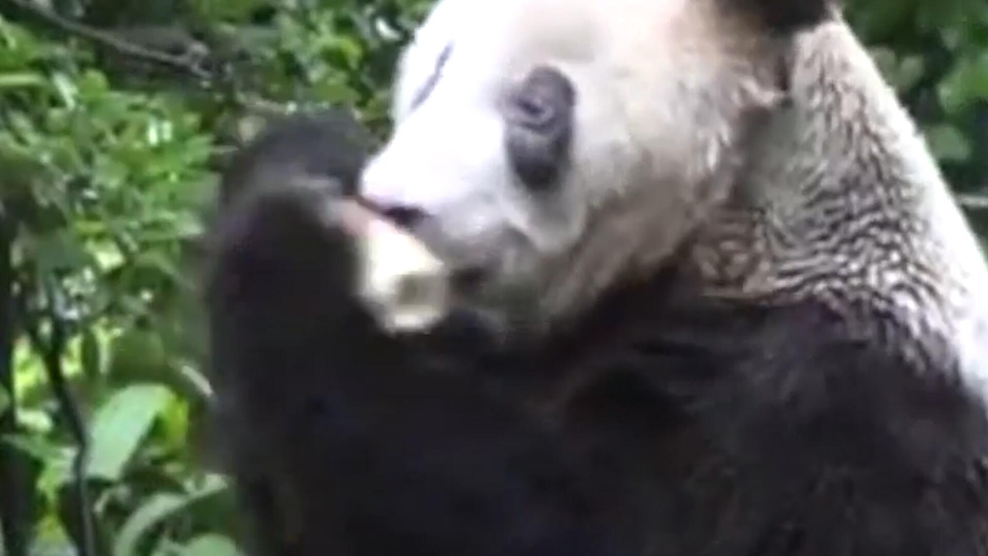 Bild zu Diese Bärin ist der älteste Panda der Welt