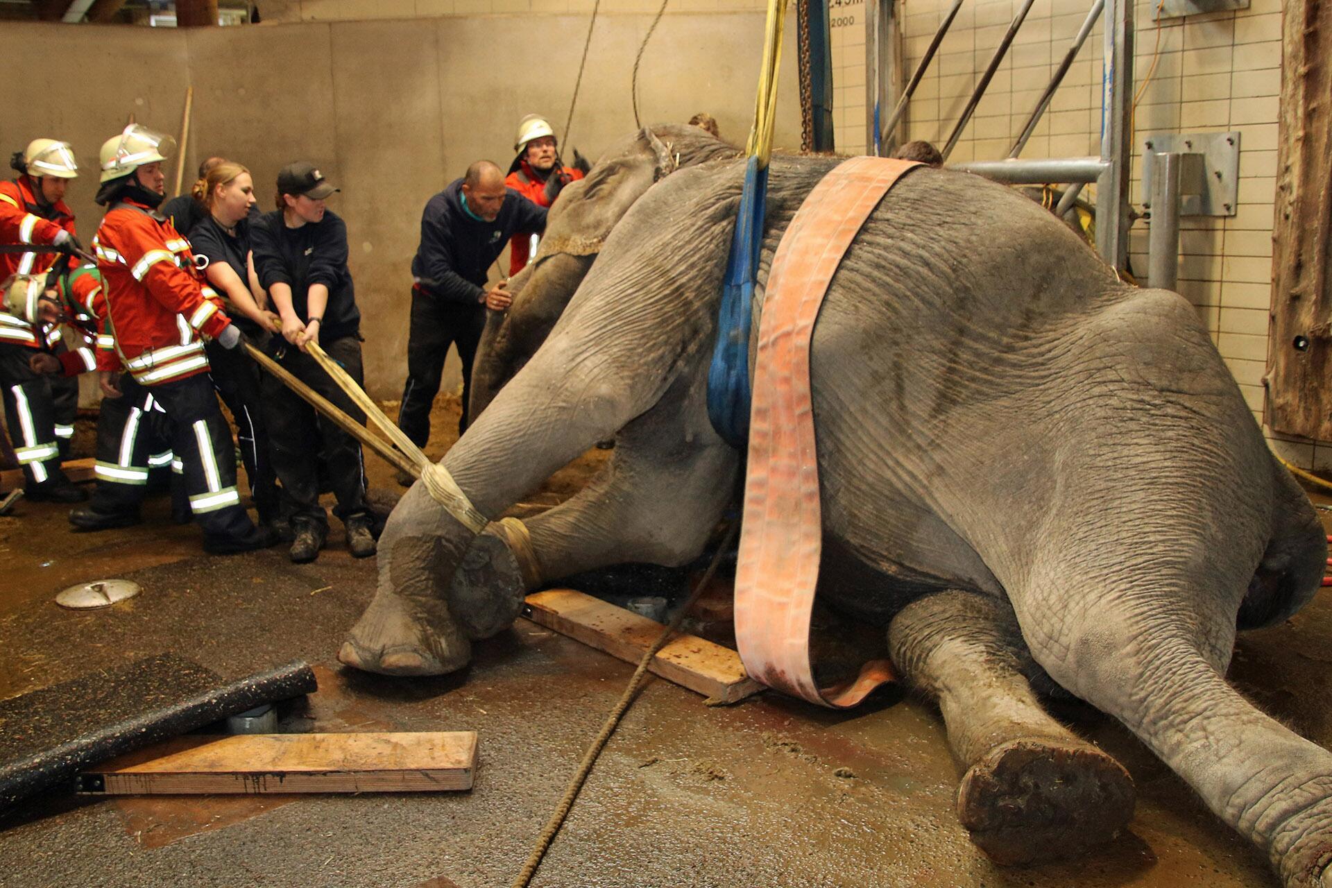Bild zu Karlsruhe: Feuerwehr muss Elefant auf Beine helfen