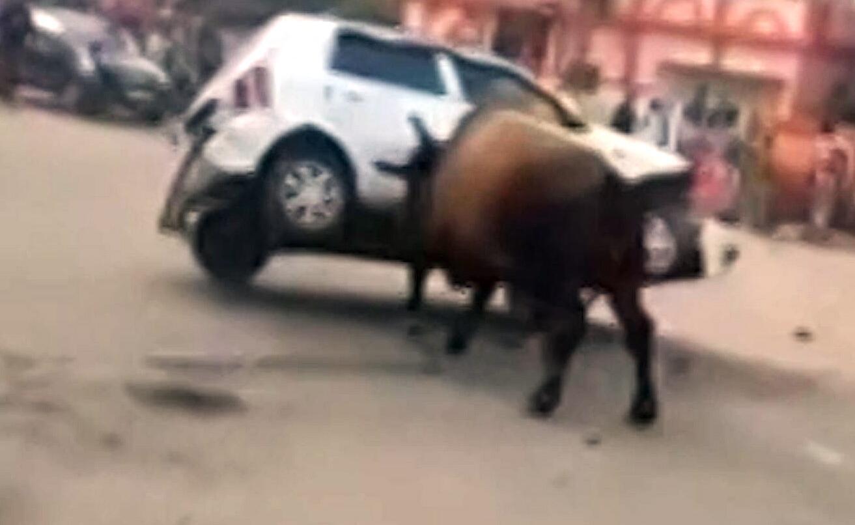 Bild zu Bulle nimmt Auto auf die Hörner